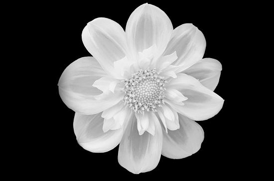 White flower against black background