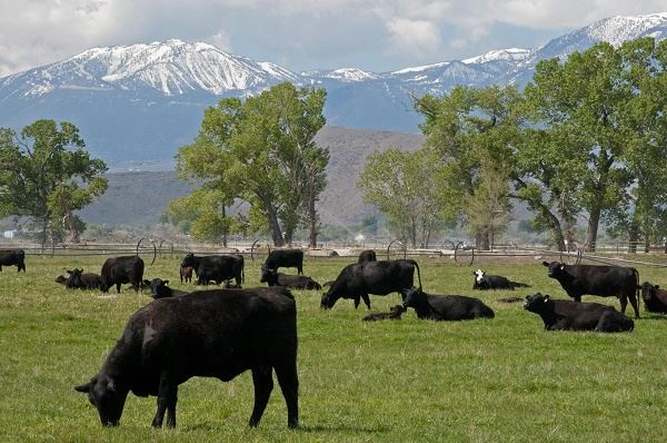 Cattle grazing against mountain backdrop