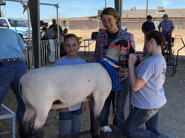 Family prepares a sheep for the show ring
